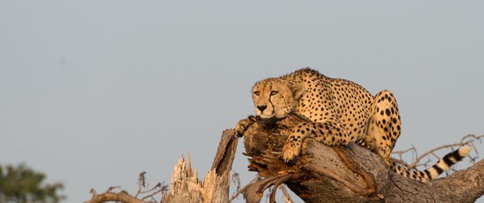 A male Cheetah in the beautiful morning light. Josh Lee