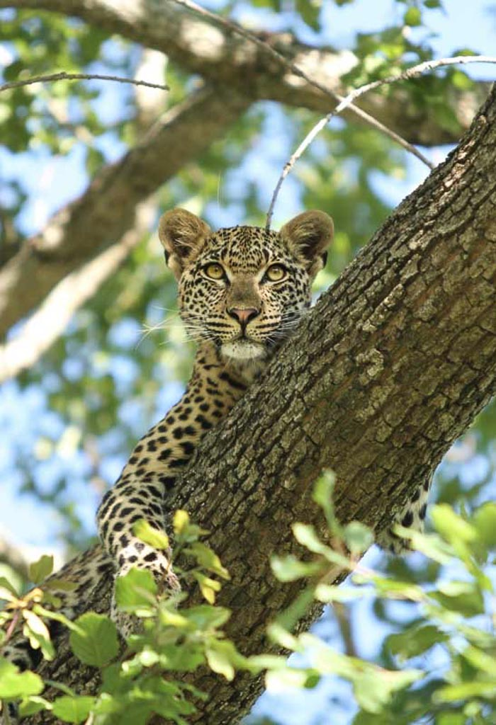 The Mashaba young female, safe in the fork of a tree as the Tsalala pride lurk below. Travor McCall-Peat