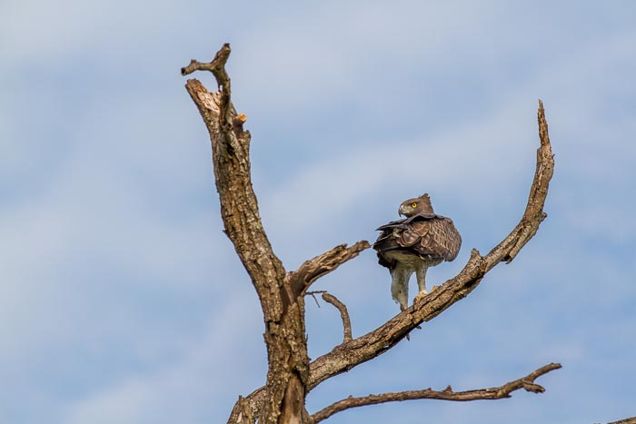 Some of the strongest in the sky. A Martial Eagle. Mike Sutherland