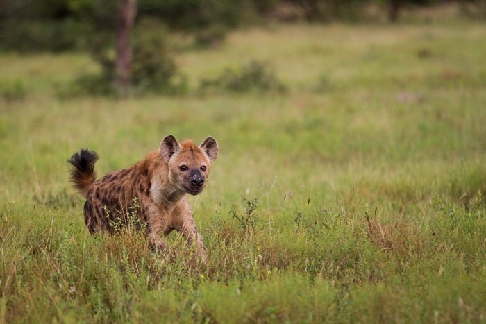 Great interaction between Lions and Hyena. Here the Sparta Pride chased this Hyena from their kill. Mike Sutherland