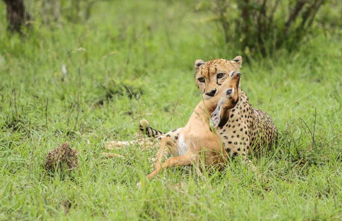 Successful week for the Cheetah residents. Trevor McCall-Peat