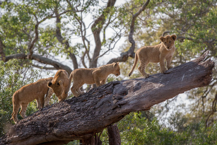 This photo of the Mhangeni cubs climbing a fallen tree trunk near the Manyelethi riverbed was a wonderful moment, yet the effectiveness of the actual photo is marred by the clutter in the background. Lots of branches and a bright sky act as a distraction.