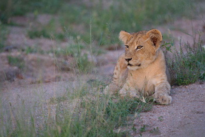 One of the Tsalala cubs separated itself from the rest of its litter and came to lie on the road. A relatively uniform colour scheme of green and grey brown emphasises the tawny coat of the lion and makes it pop. nOtice how the background is blurred, and the 'rule of thirds' is employed to make the cub look into the photograph.