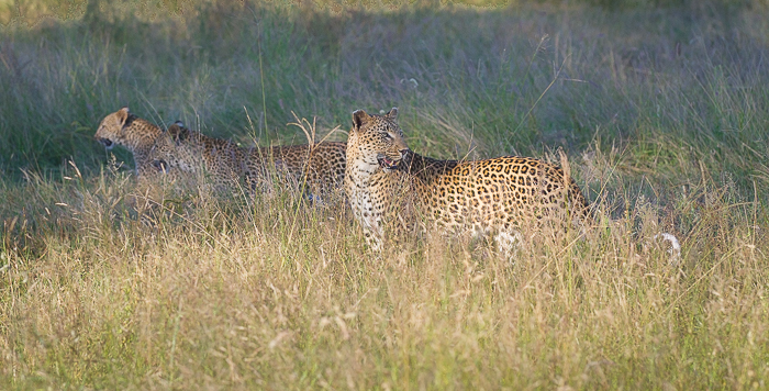 Taking the cubs to a kill, they are eager to get there, heads down and heading off quickly. Tutlwa is very aware of what is going on around her and of any danger that might come to the cubs.