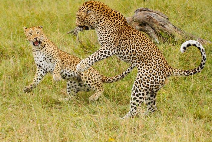 No love lost between the 2 Leopards.