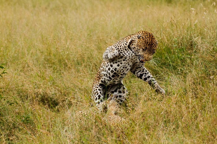 Aggression shown post mating between the Leopards.