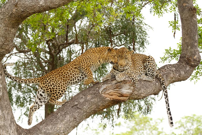 Almost mating in a Marula tree.