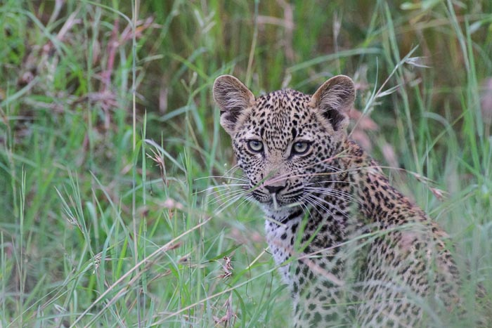 The young female cub, slightly more nervous than her brother, 3:4 spot pattern.