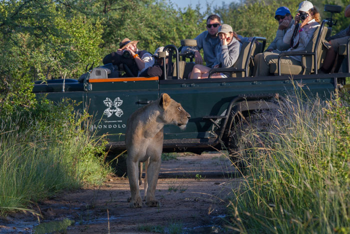 One of the lionesses looks towards where the rest of the pride was moving to the south of Londolozi's camps while ranger Lucien Beaumont and guests look on.