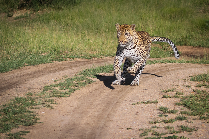 The Marthly Male decides its now or never and heads off in pursuit of the warthogs.