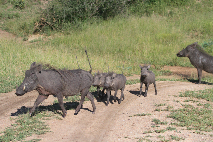 The warthog family regrouping and starting to panic. at this moment the family has 2 choices fight or flight and considering there are young piglets its very risky to fight.