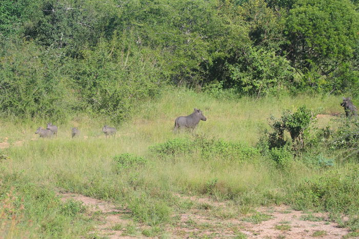 The moment when one of the warthogs realise that there is a leopard a mere 10 meters away and alerts the rest of the family.