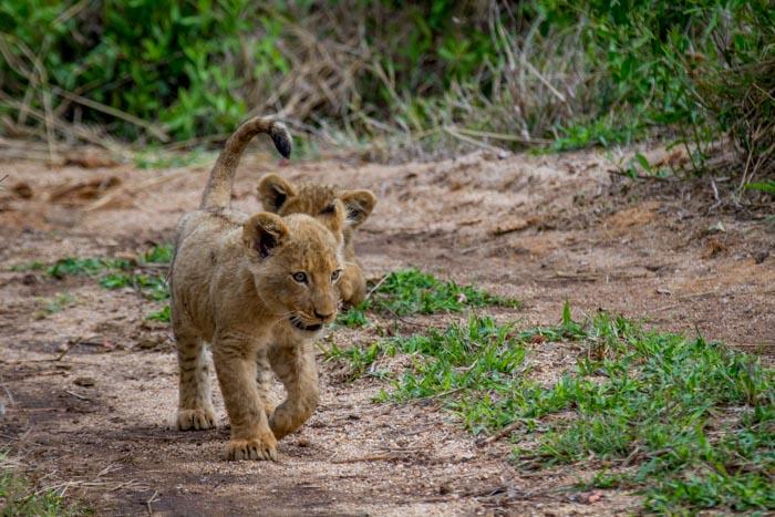 The Tsalala cubs at age 4 months.
