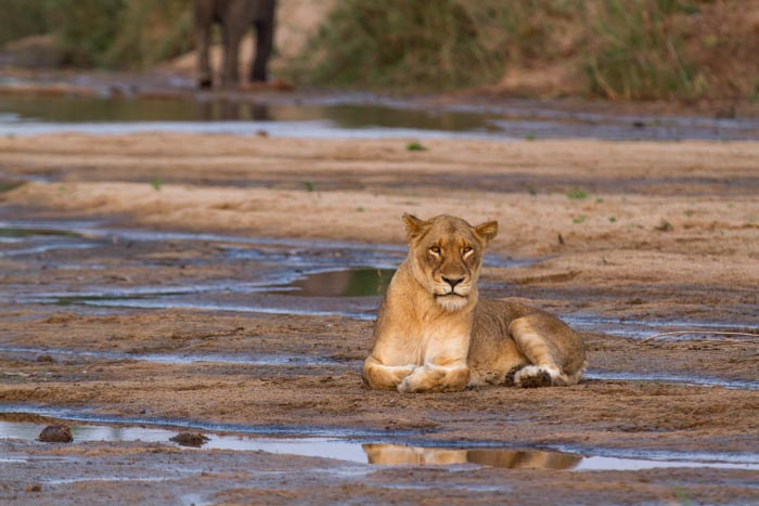 The tailless Tsalala female in the Sand River.
