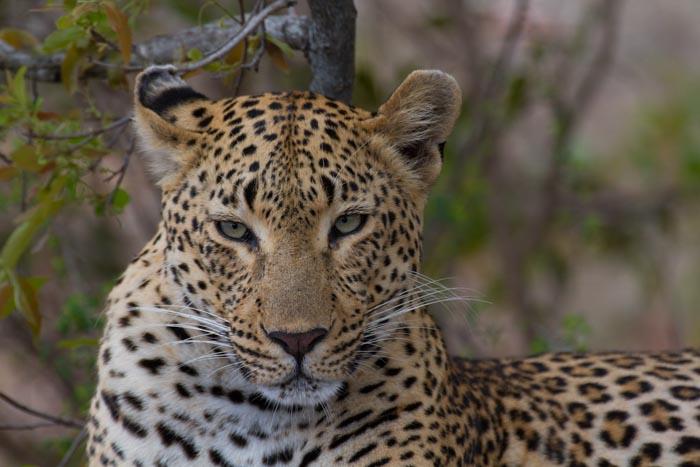 Tutlwa Female.