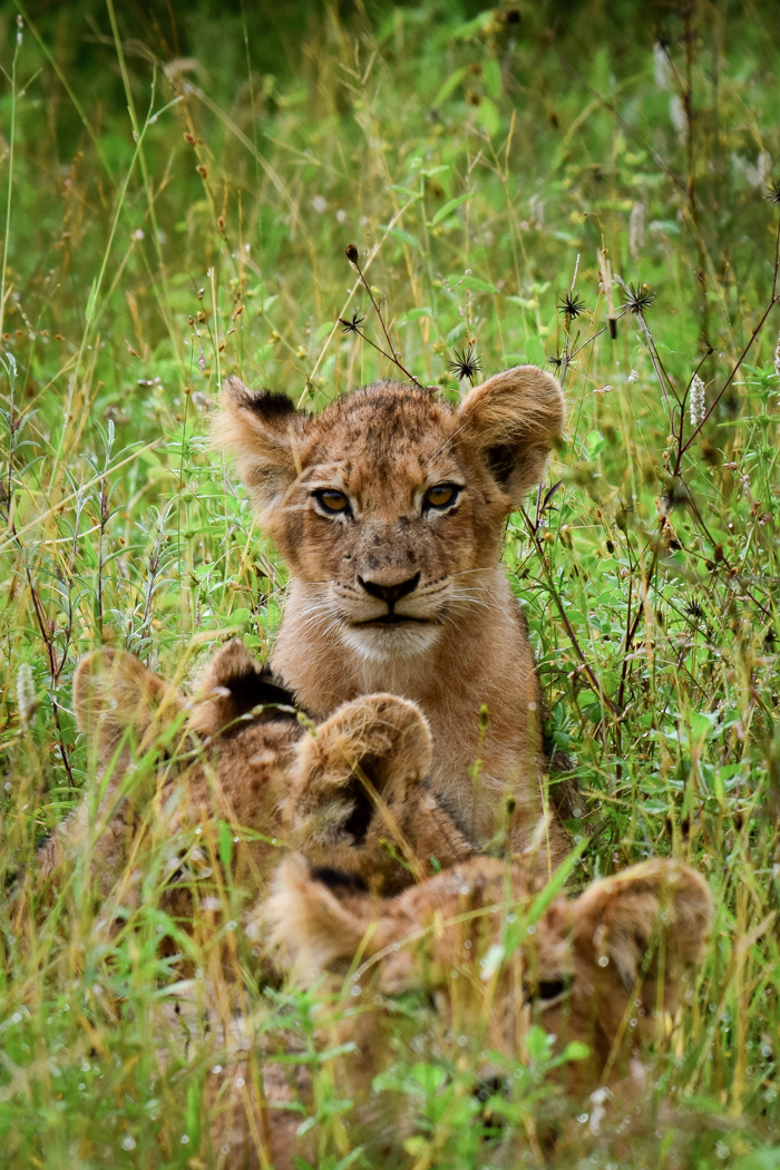 Once comfortable with Trevor, all four cubs came out to play.