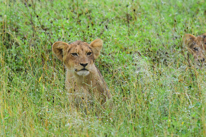 One of the Tsalala cubs pocking his head out from the long grass to check that Trevor meant no harm!