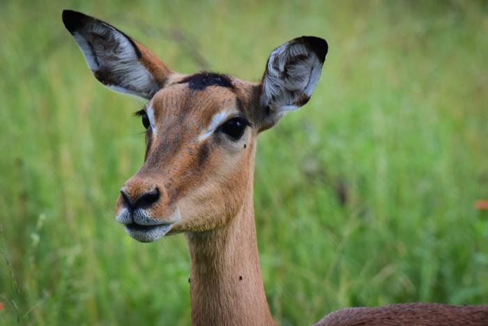 Estelle's favourite antelope, the impala.
