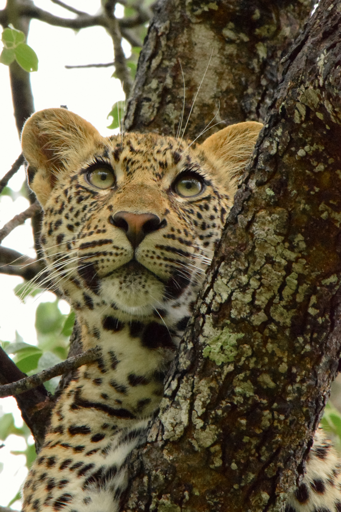 This is my favourite of all the leopard shots, which is yours?