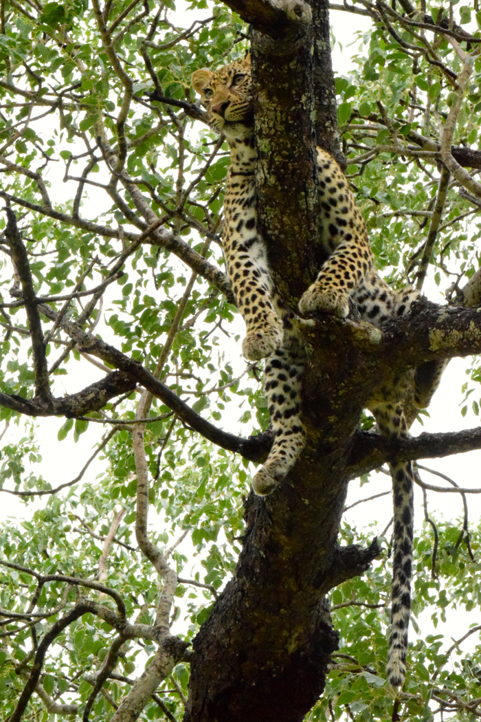 It is so easy to cut off the tail in a photograph composition such as this one, as the beauty of the leopard and her pose can overwhelm us and we forget the 'rule of thumb'. Here, Estelle managed to capture the beauty, the pose and the tail!