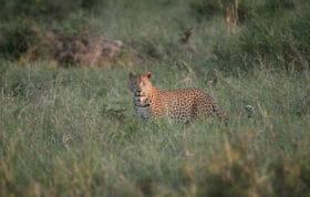 Makhotini Male Leopard Jt