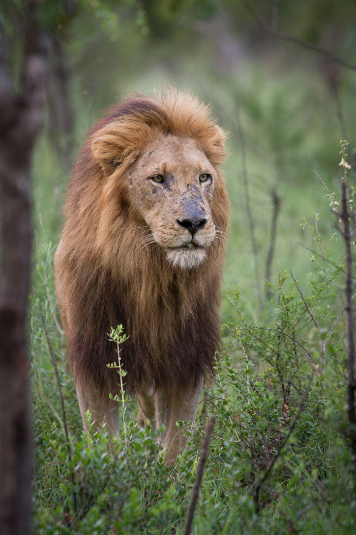 The Scar-nosed Majingilane. He was reportedly bleeding profusely from cuts on his face during yesterday's battle with the Selati male. He should certainly have some new scars to add to his already-impressive tally.