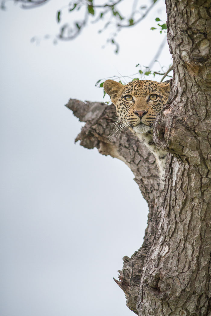 It just wouldn't be a Week in Pictures without a shot of the Mashaba young female, here seen up in one of her favourite marula trees near camp.