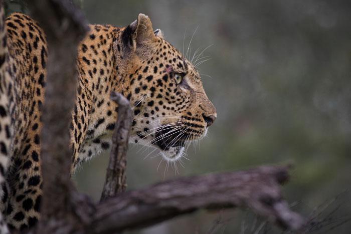 The Tamboti female in the same sighting.