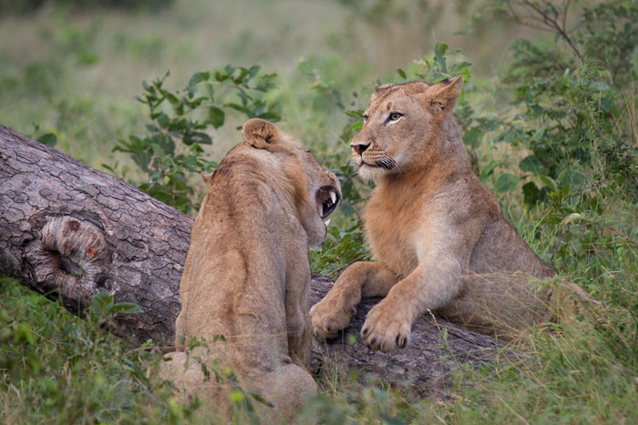 Two of the young males tussle at the base of a fallen marula.