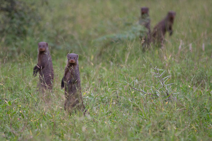 Banded mongooses stand still just long enough to get off a shot.