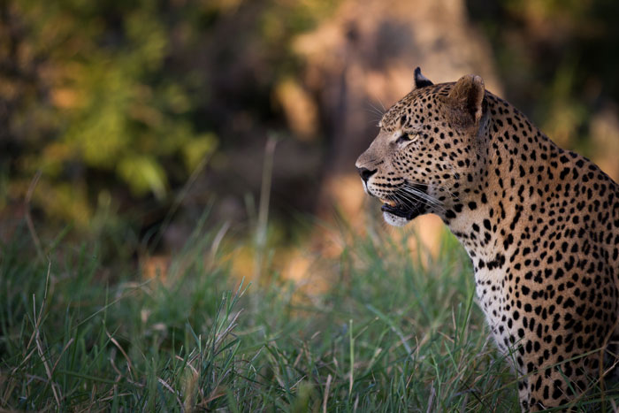 The Makhotini male stares after the buffalo herd in Tuesday's post.