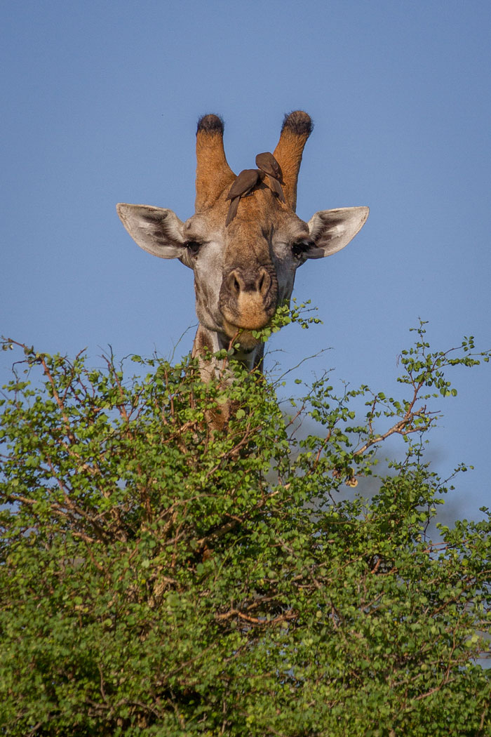 A lone bull giraffe enjoys some attention from a pair of red-billed oxpeckers while feeding on a knobthorn tree.