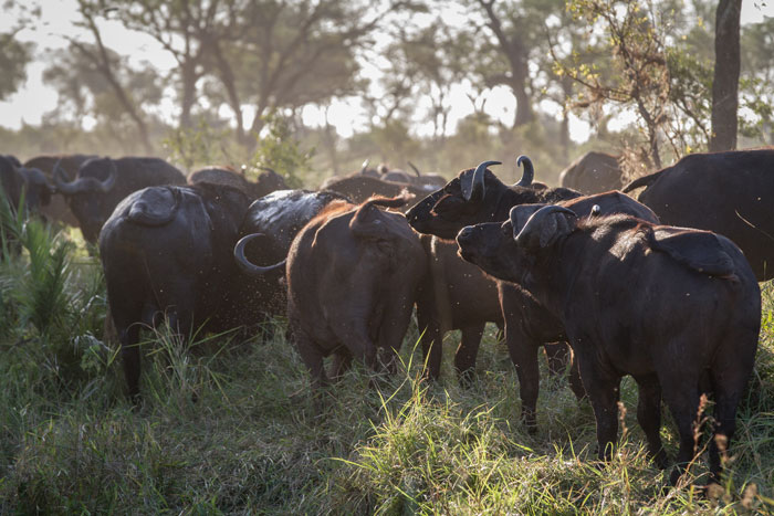 The two buffalo on the right of the picture were making their way back into the herd after chasing the Makhotini male leopard off in the sighting described in Tuesday's post.