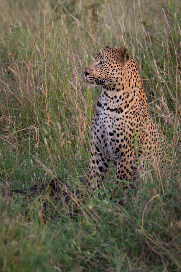 The leopard looks towards where the calf's mother was bellowing her distress. She moved off to rejoin the herd very soon after this photo was taken.