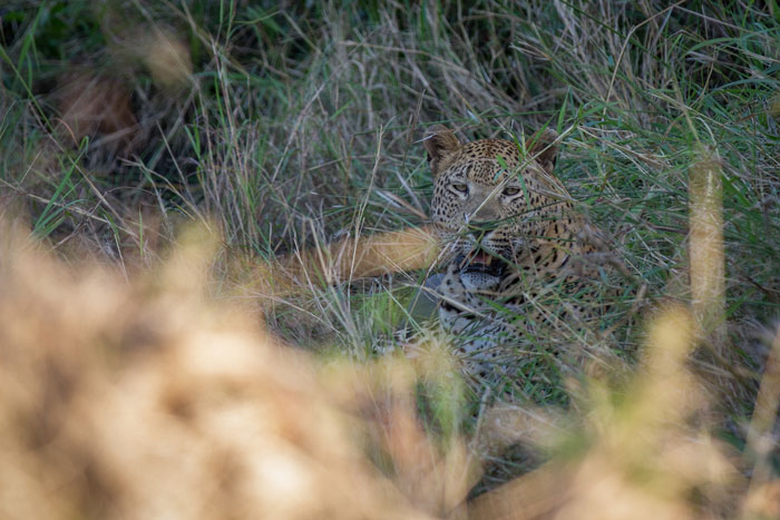 Incredibly well camouflaged in the Tugwaan drainage line, the leopard lay in the long grass totally unseen by the buffalo, who were feeding no more than 50m away from him, if that.
