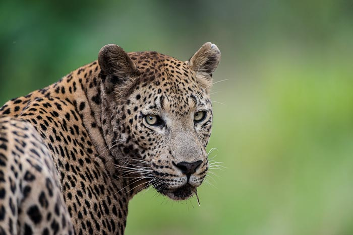 The Makothini male deep in the southern regions of the reserve. Can you see the resemblance with his father Camp Pan?