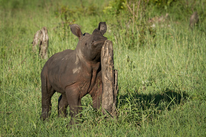 White Rhino calf. f6.3