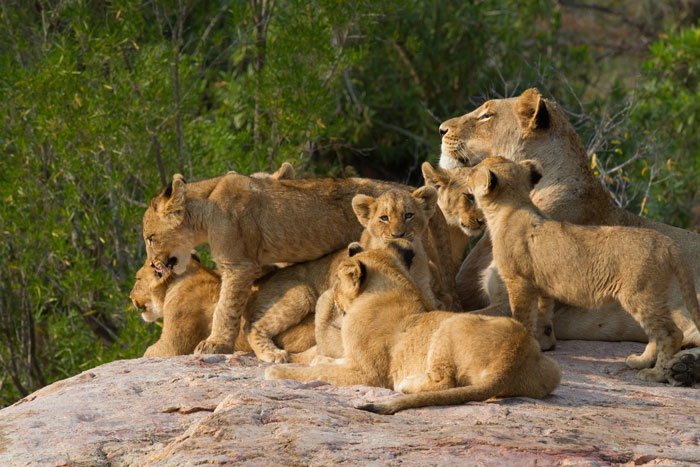 Mhangeni lioness and cubs. f10