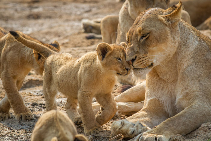 A cub from the Mhangeni pride takes time off from annoying the dark-maned Majingilane to nuzzle up to its mother.
