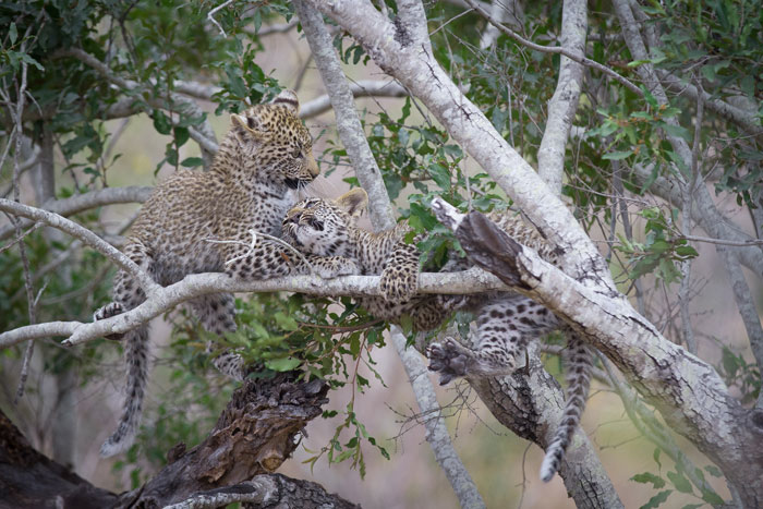 The Nanga cubs get up to mischief in the branches of a gwarrie tree.
