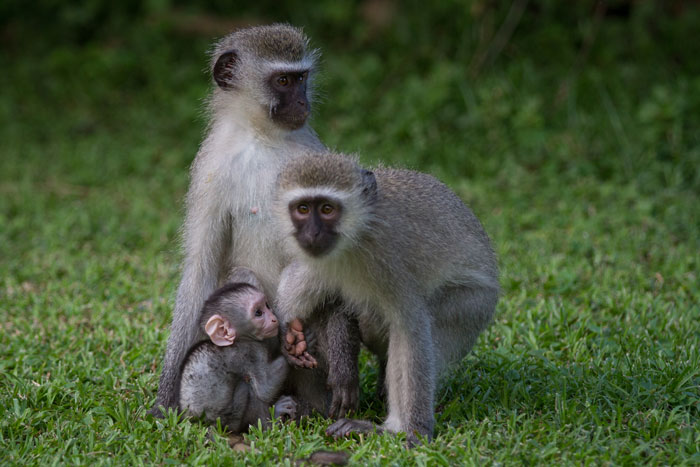 A baby vervet monkey clings desperately to its mother in the face of a new and daunting world.