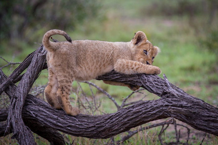 A Tsalala cub clambers awkwardly over a fallen knobthorn trunk