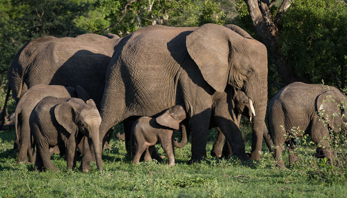 Although not as prevalent in summer as in winter, the elephants are still here. We enjoyed a wonderful sighting of this herd, the highlight being this little calf trying to sneak a drink as his mother slowly grazed past the front of our vehicle.