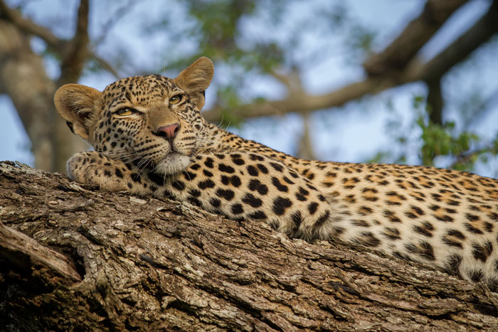 ANOTHER photo of the Mashaba young female. Leopards spend less time in trees than many people think, but a young leopard like this, with lots of energy and a much lighter froame to hoist up into the branches, is far more likely to be found in the treetops than bigger, older individuals.