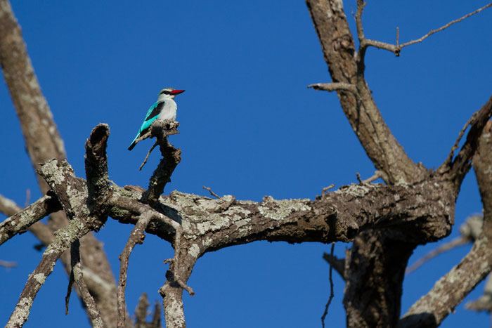 A woodland kingfisher. The day is coming when we'll be seeing the last of these beautiful birds for the months of winter.