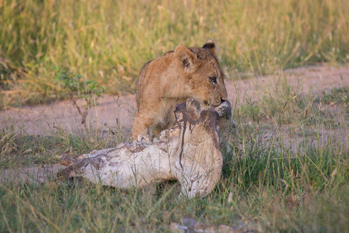 One of the Tsalala Cubs investigates the lower jaw of a hippo at Nyelethi Pan. The hippo in question had we think been killed by a rival male. He was found being fed on by the Mhangeni pride.