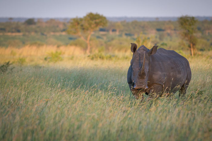 A magnificent white rhino in the Open Areas. An impressive specimen, this is a large cow.