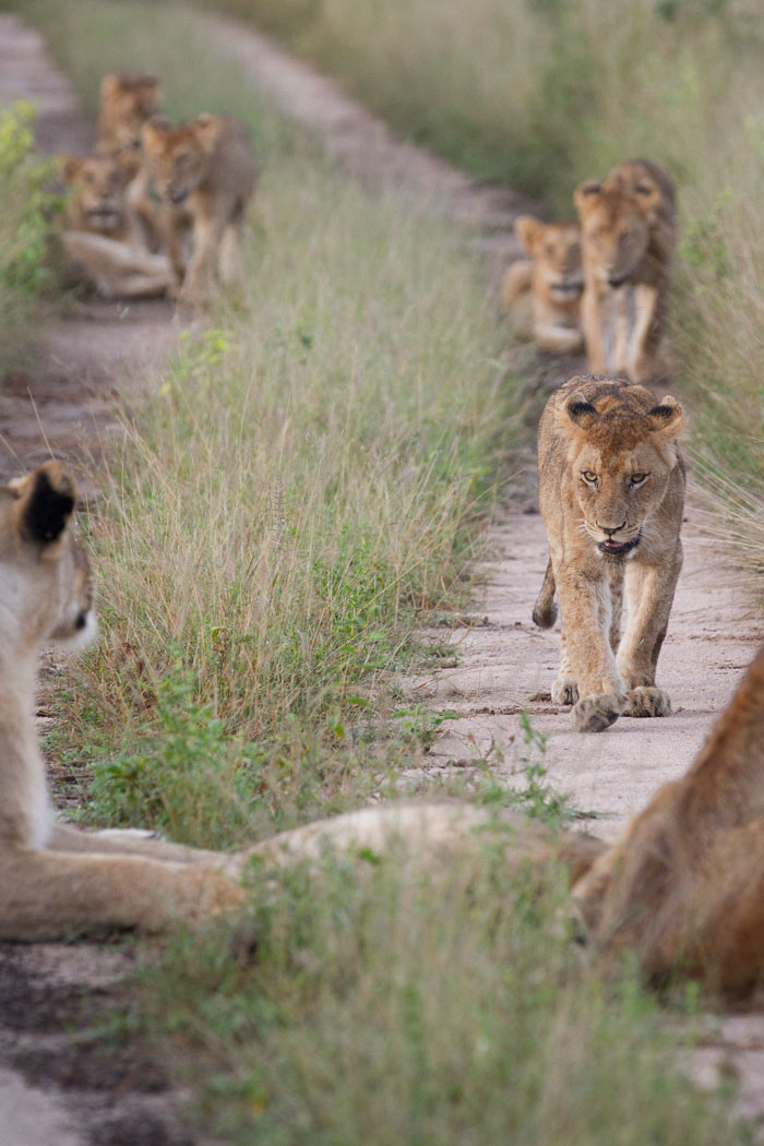One of the Mhangeni cubs tires of playing with its siblings and approaches its mother for some affection