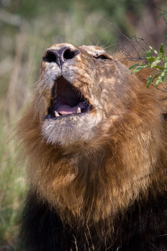 The dark-maned Majingilane roars his dominance over the Tsalala Pride. This was an unusual sighting in that he was roaring late in the morning, past 9am, a time when - particularly in summer - most lions have settled in to snooze for the day.