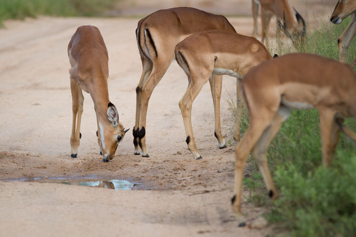 This summer's crop of young impalas are showing signs of their developing maturity, and the young males are already sprouting horns.